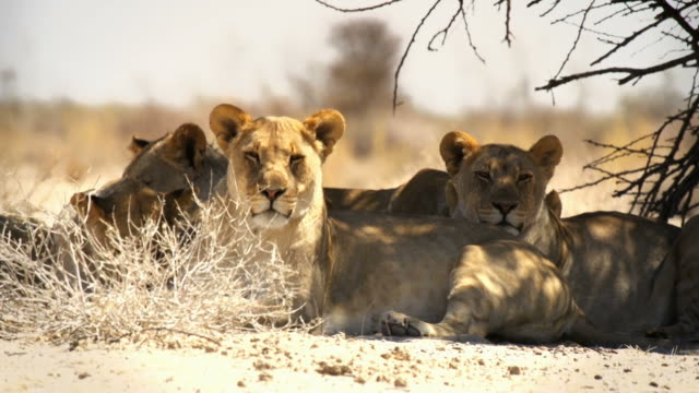 lions lying in the shade of a tree - national park stock videos & royalty-free footage