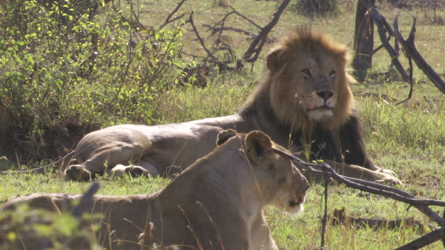 MS Lions lying on grass / Tanzania