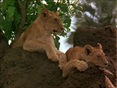 2 lions lying on rocks / africa - cinematography stock videos & royalty-free footage