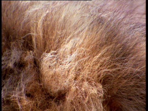 lions mane blowing in the wind - animal hair stock videos & royalty-free footage