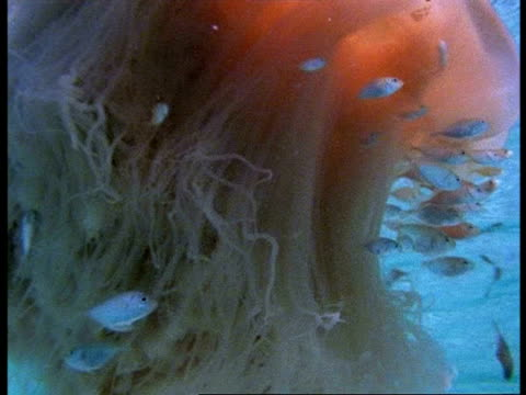 vídeos de stock e filmes b-roll de cu lions mane jellyfish, cyanea capillata, swims with shoal of clownfish near water surface, australia - relação simbiótica