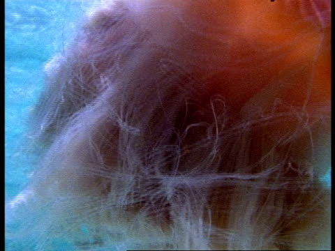 cu lions mane jellyfish, cyanea capillata, swims with shoal of clownfish near water surface, australia - tentacle stock videos & royalty-free footage