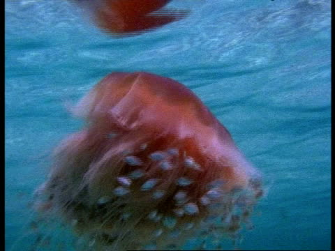 cu lions mane jellyfish, cyanea capillata, swims with shoal of clownfish near water surface, australia - 共生関係点の映像素材/bロール