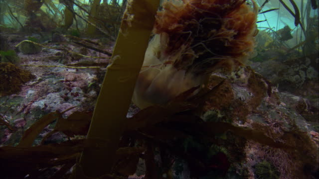 a lion's mane jellyfish flares as it swims past kelp on the seafloor. available in hd. - kelp stock-videos und b-roll-filmmaterial
