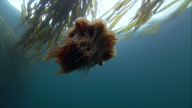 a lion's mane jellyfish passes kelp as it swims toward the surface. available in hd. - living organism stock videos & royalty-free footage