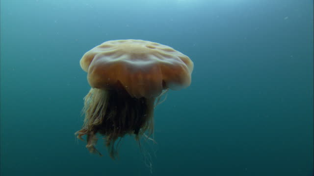 a lion's mane jellyfish pulsates as it swims toward the surface. available in hd. - jellyfish stock videos & royalty-free footage