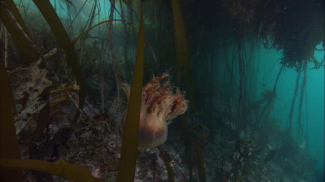 a lion's mane jellyfish swims past kelp on the seafloor. available in hd. - kelp stock-videos und b-roll-filmmaterial