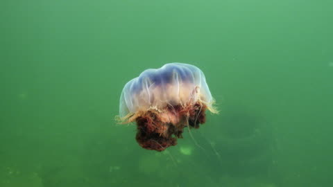 lion's mane jellyfish - sea life stock videos & royalty-free footage