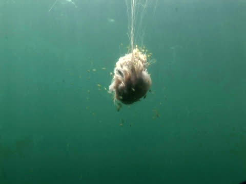 lion's mane jellyfish (cyanea capillata) with fish, brunei - brunei stock videos & royalty-free footage