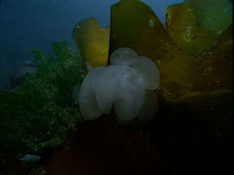 a lion's mane nudibranch clings to kelp. - wasserpflanze stock-videos und b-roll-filmmaterial