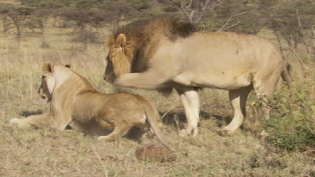 vídeos y material grabado en eventos de stock de ms ts pan zi zo lions mating and then peeing / tanzania  - apareamiento