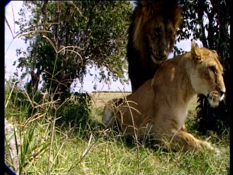 lions mating, female leaps up and male knocks over camera disguised as boulder as he escapes - human copulation stock videos and b-roll footage