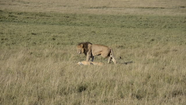 Lions mating in the plains of Masai Mara National Reserve during a wildlife safari