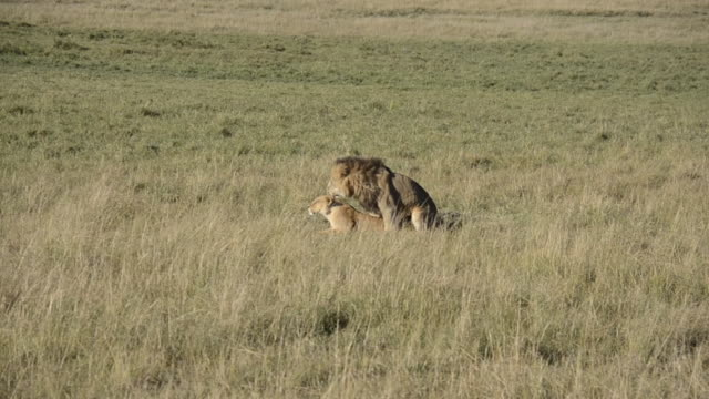Lions mating inside Masai Mara national reserve during a wildlife safari