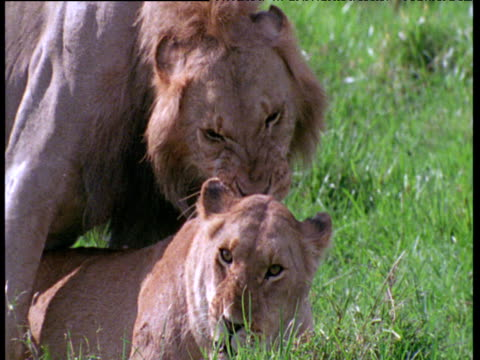 lions mating, male bites female's ear and neck, female rolls over after mating - human copulation stock videos and b-roll footage