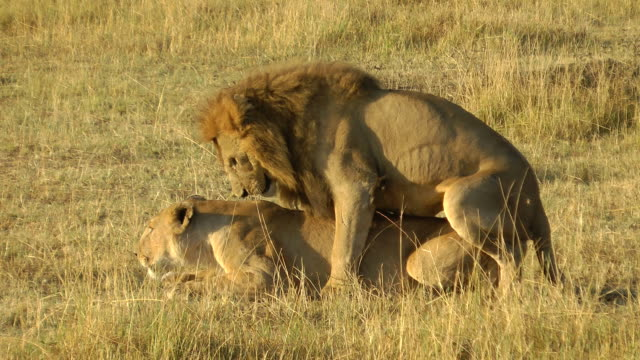 lions mating - female animal stock videos & royalty-free footage
