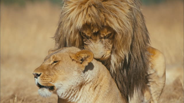lions mating - animal behaviour stock videos & royalty-free footage