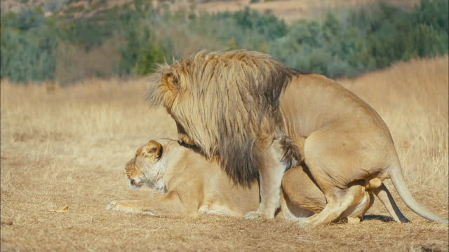 vídeos de stock, filmes e b-roll de lions mating - female animal