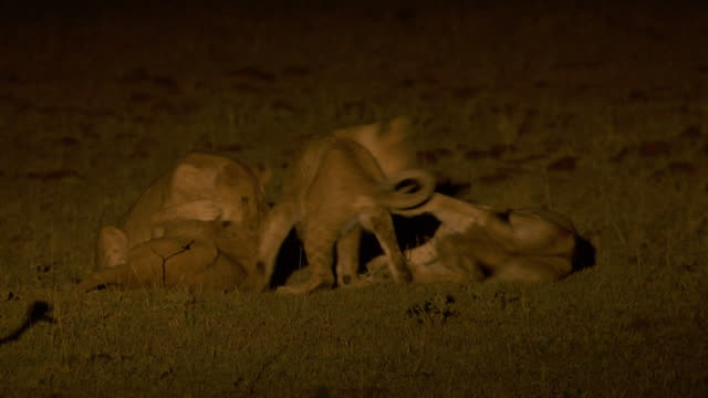 ms pan lions playing at night / tanzania - night vision stock videos and b-roll footage