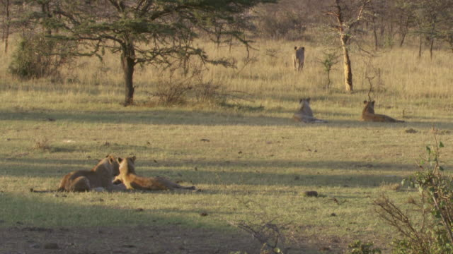 stockvideo's en b-roll-footage met ws pan lions playing on grass / tanzania  - kleine groep dieren