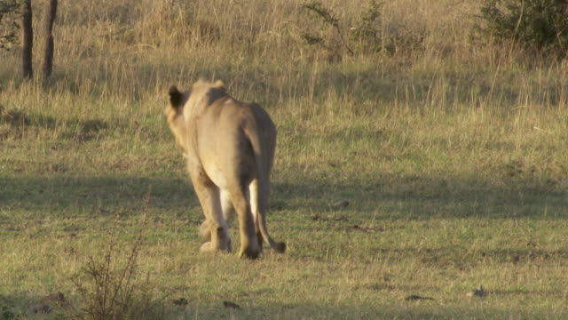 stockvideo's en b-roll-footage met ms pov pan lions playing on grass / tanzania  - kleine groep dieren