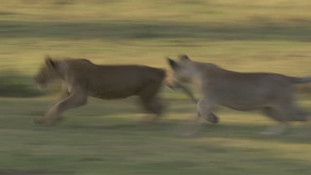 stockvideo's en b-roll-footage met ms pan lions playing on grass / tanzania  - kleine groep dieren