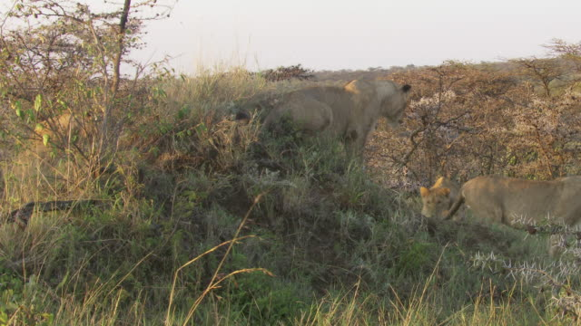 ms zi zo pan lions playing on hill / tanzania - gruppo medio di animali video stock e b–roll