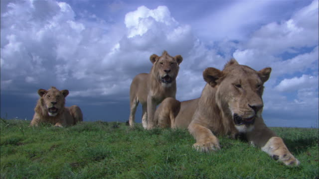 Lions rest on a savannah in the Serengeti of Tanzania.