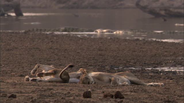 lions (panthera leo) rest on riverbank, luangwa, zambia  - braun stock-videos und b-roll-filmmaterial