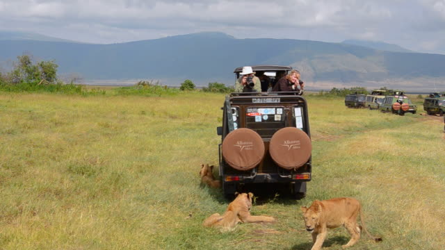 MS Lions resting by vehicles in shade / Ngorongoro Conservation Area, Tanzania