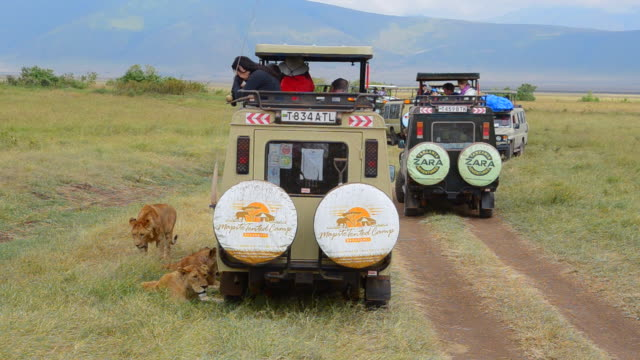 vidéos et rushes de ms lions resting by vehicles in shade / ngorongoro conservation area, tanzania - air raid