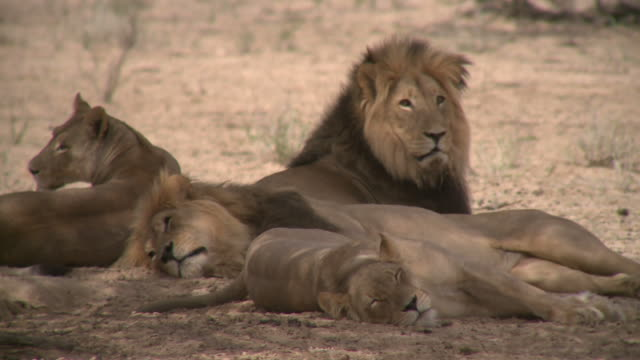 lions resting in the shade of a tree - shade stock videos and b-roll footage