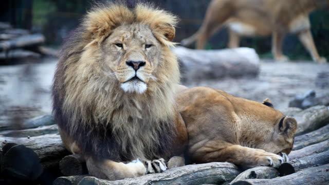 Lions resting together.