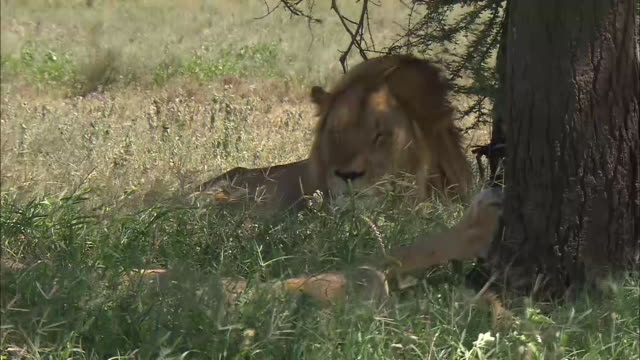 vidéos et rushes de lions resting under a tree in serengeti national park, tanzania - être à l'ombre