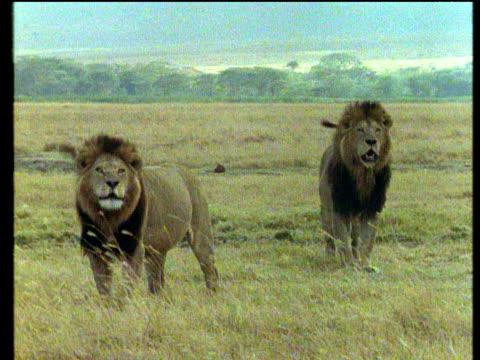 vidéos et rushes de lions roar - lion