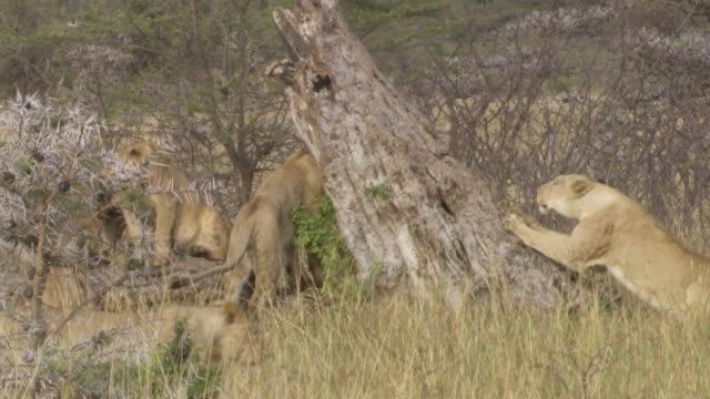 ms zo lions rubbing and jumping on tree / tanzania - gruppo medio di animali video stock e b–roll