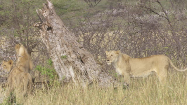 ms lions rubbing on tree and jumping / tanzania - gruppo medio di animali video stock e b–roll