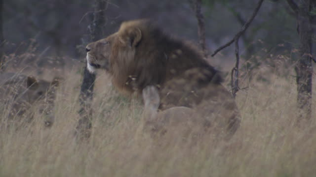 stockvideo's en b-roll-footage met   ms ts lions scratching and walking  away / tanzania - kleine groep dieren