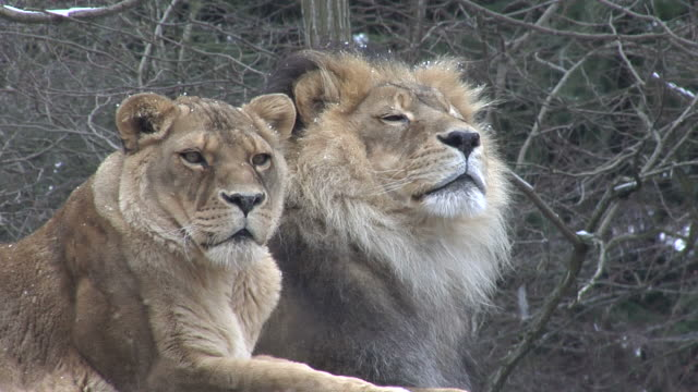 lions sit in a snowy field hd 4:2:2 1080i - cat family stock videos and b-roll footage