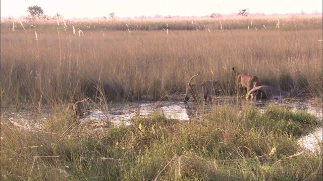 lions spotted a dead hippo in the marsh of okavango delta wetland - オカバンゴデルタ点の映像素材/bロール