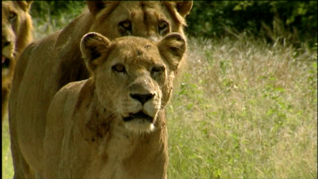 lions stalking/ south africa - male animal stock videos & royalty-free footage