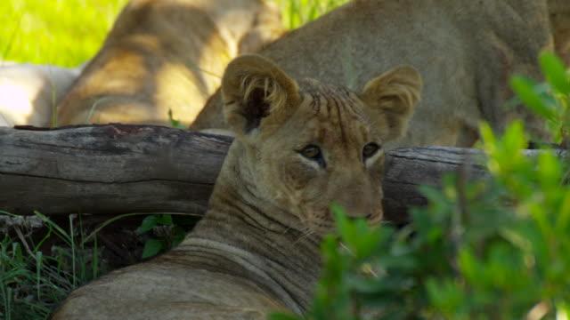 vídeos de stock e filmes b-roll de lions - grupo pequeno de animais