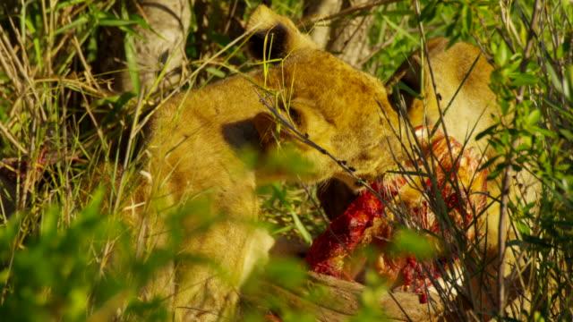 vídeos y material grabado en eventos de stock de lions - felino grande