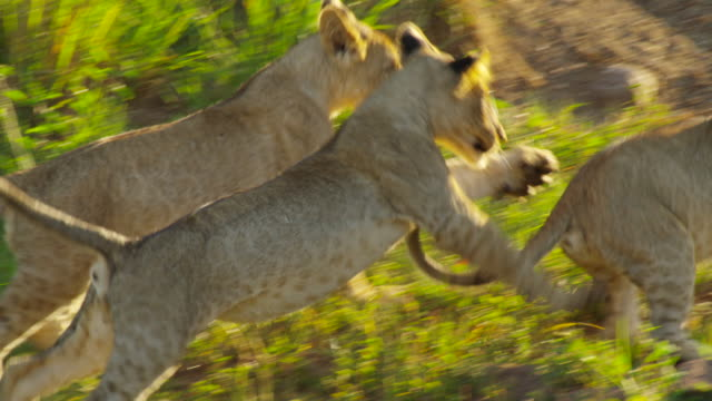 lions - lion cub stock videos & royalty-free footage
