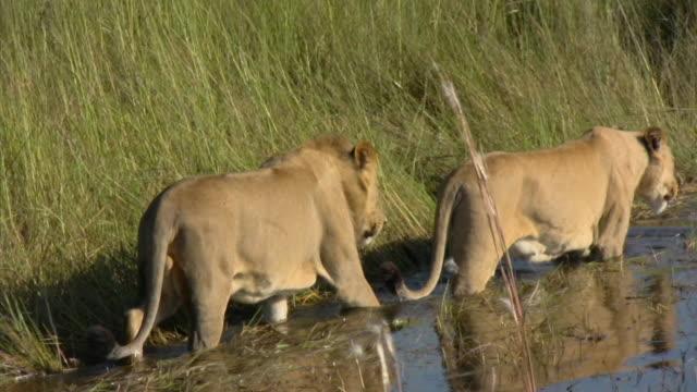 MS, ZO, WS, Lions (Panthera leo) walking down river, Botswana