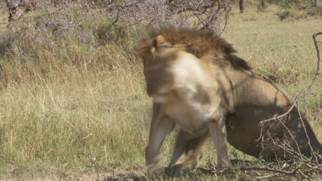 vidéos et rushes de ms ts lions walking, mating and peeing / tanzania  - accouplement lion