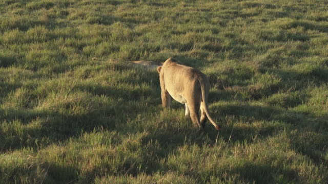 lions walking slowly, lying down at sunrise - wiese stock videos & royalty-free footage