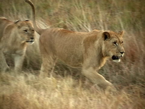 lions walking - group of animals stock videos & royalty-free footage