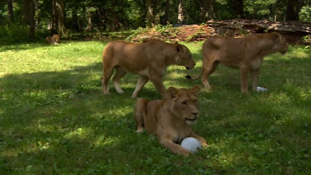 lions with 'ice lollies' in longleat safari park during a heatwave - ロングリートサファリパーク点の映像素材/bロール