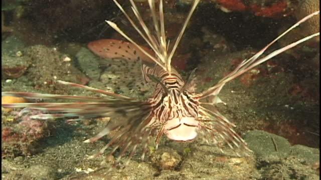 lion/turkeyfish (unknown species). reef.  papua new guinea - drachenkopf stock-videos und b-roll-filmmaterial